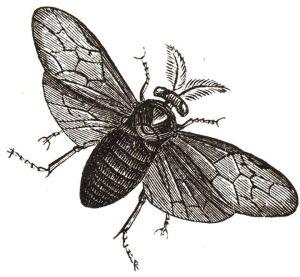 escarabajo-dibujo